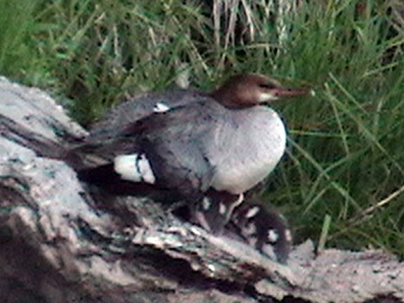 Merganser and young